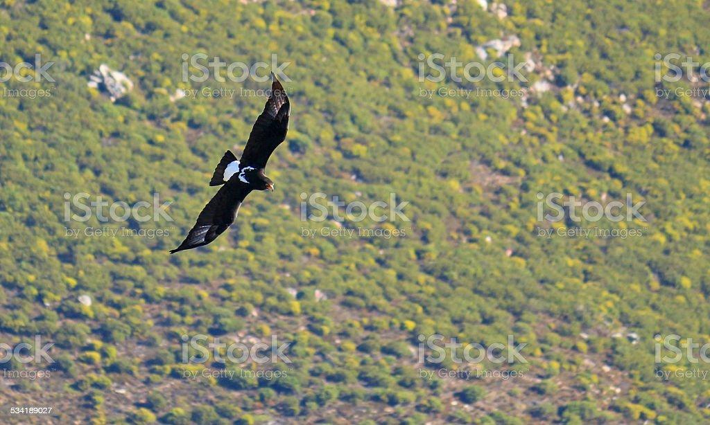 Preto/Propithecus Eagle, África do Sul - foto de acervo