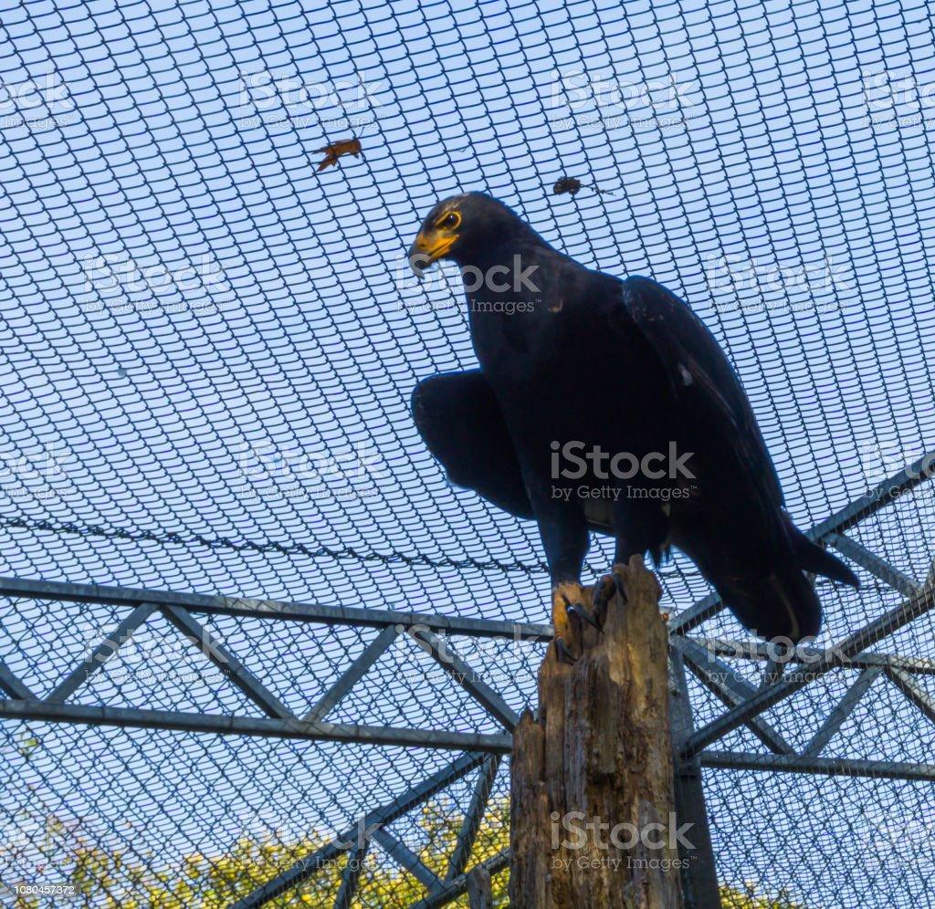 preto águia do verreax, sentado em cima de um tronco de árvore, um raptor tropical da África - foto de acervo