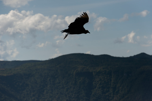 Image of a Black vulture (Coragyps atratus), (Portuguese:urubu-de-cabeça-preta)