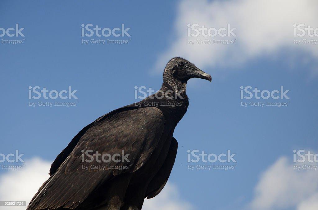 Black Vulture Coragyps atratus stock photo