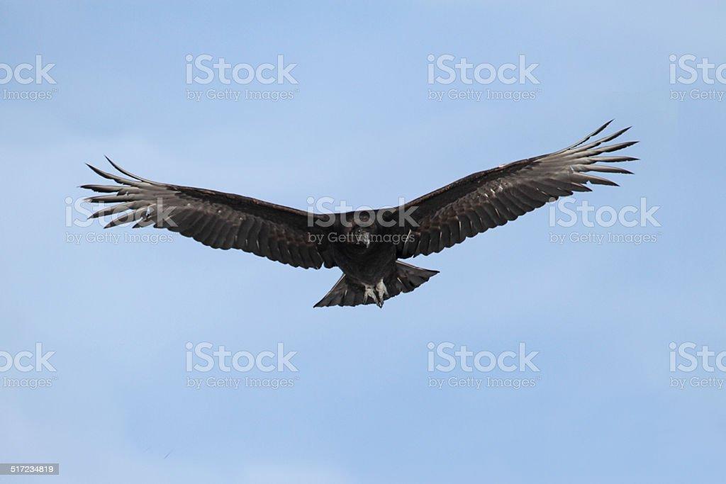 Black Vulture In Flight stock photo