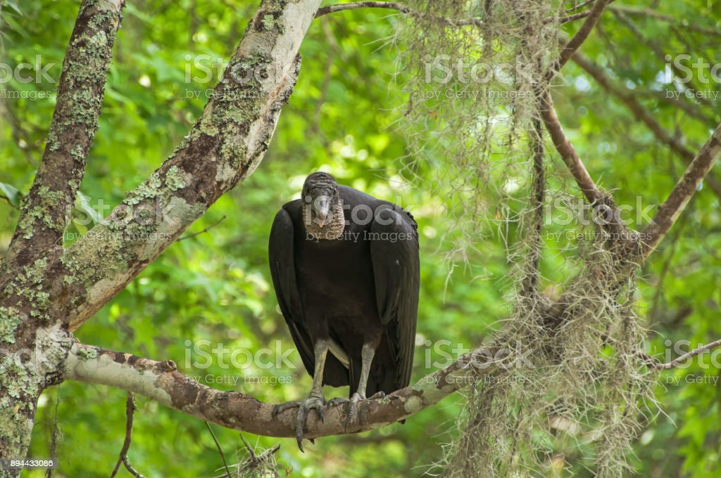 Black Vulture Is Sitting In A Tree In The Swamps Of Louisiana Stock Photo Download Image Now Istock