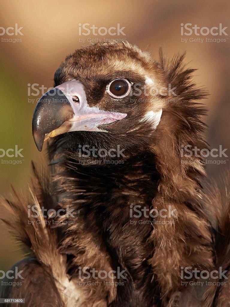 Black vulture (Aegypius monachus) stock photo