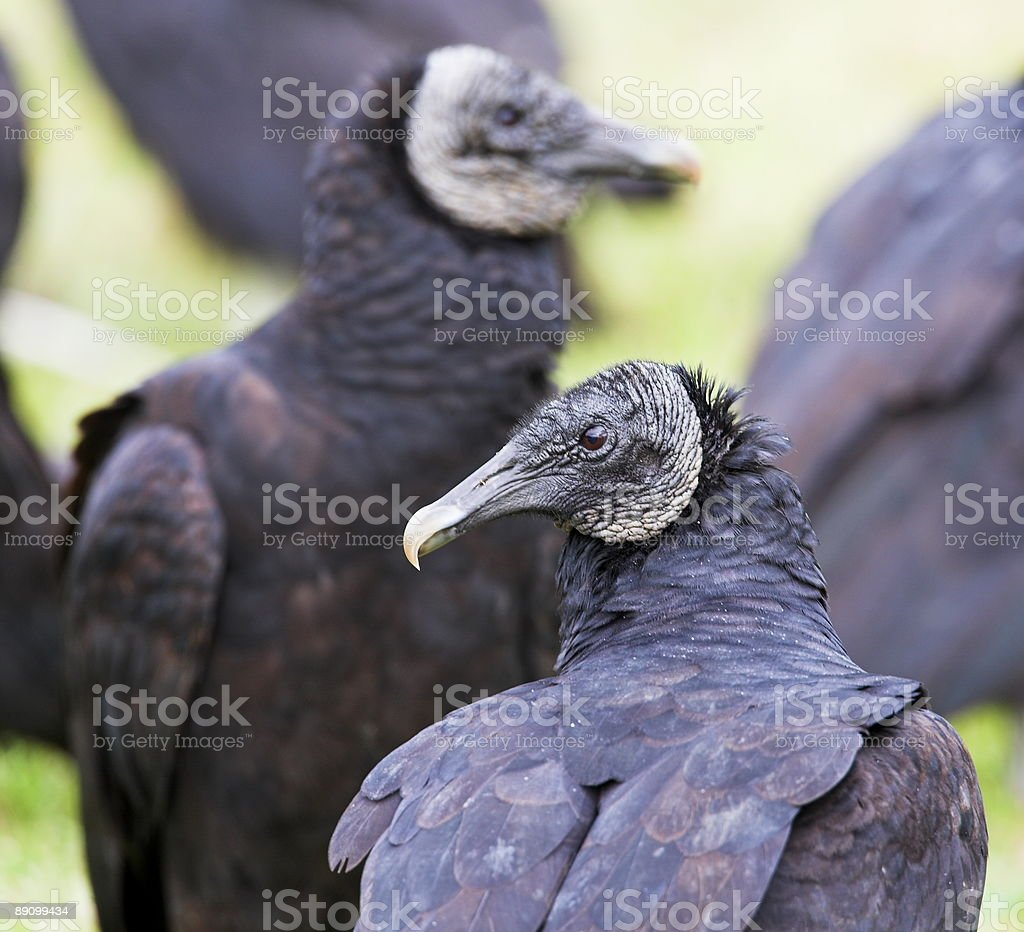 black vulture royalty-free stock photo