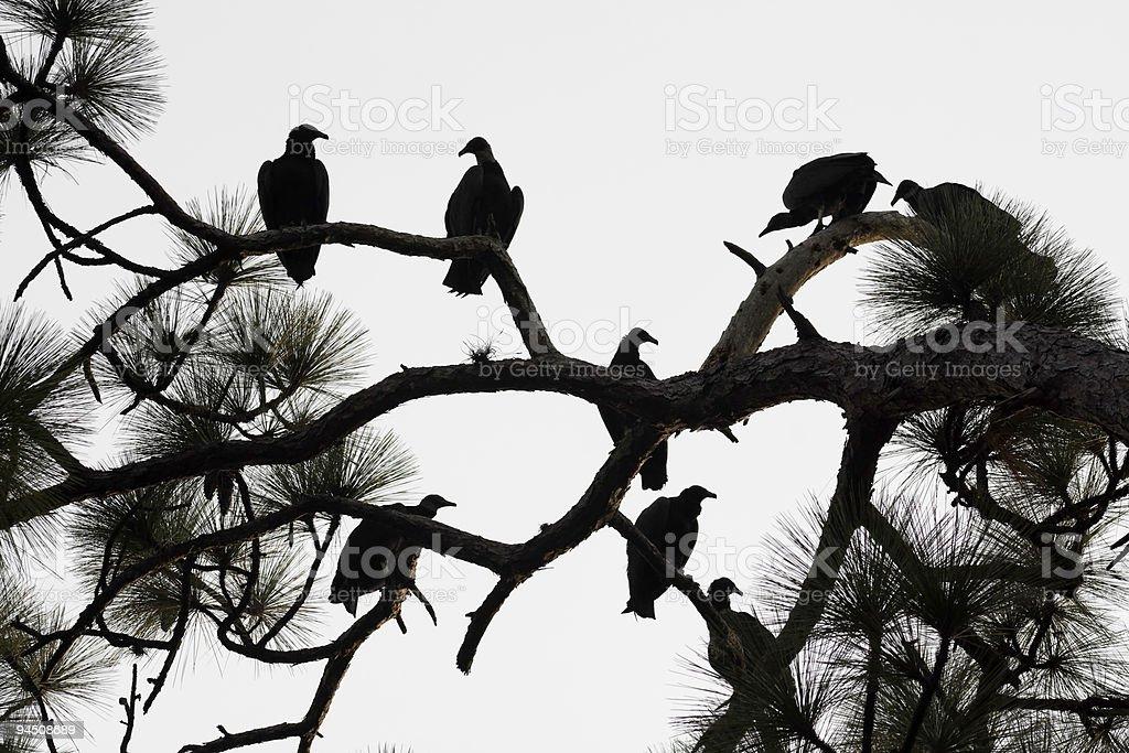 Black Vulture Silhouette stock photo