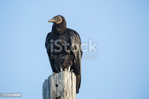 Black Vulture Sitting On A Wooden Pole