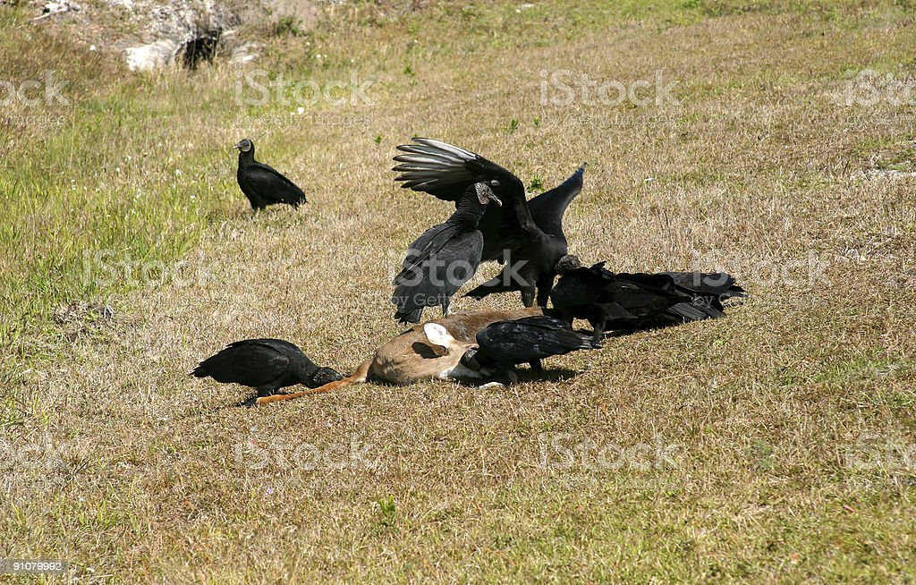 Black Vultures Eating a Dead Deer royalty-free stock photo