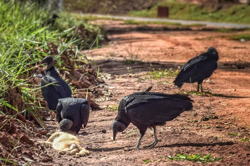 Black Vultures eating the carcass of a dead cat on the road