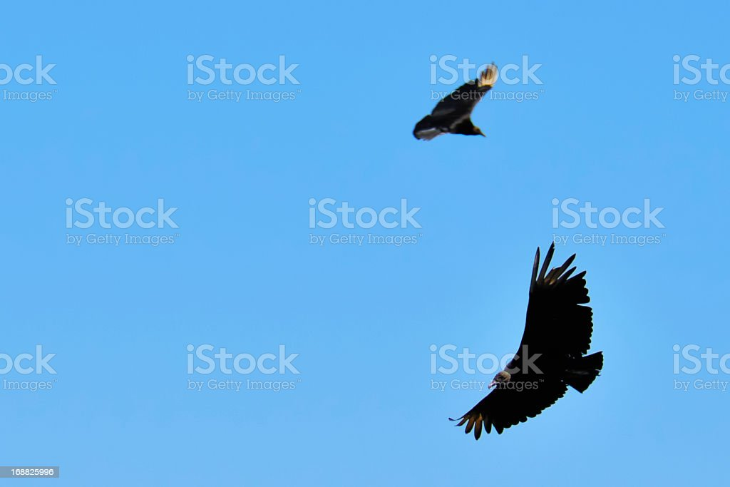 Black vultures royalty-free stock photo