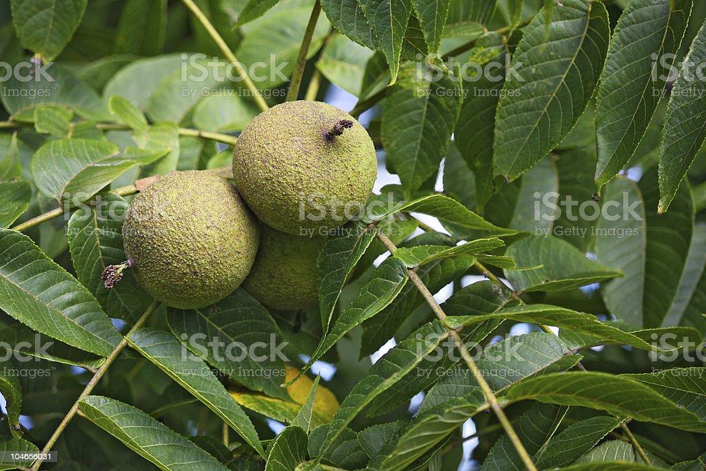 Black Walnut Fruit stock photo