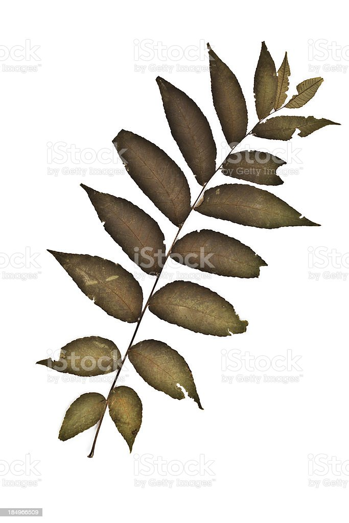 Black Walnut - Juglans nigra stock photo