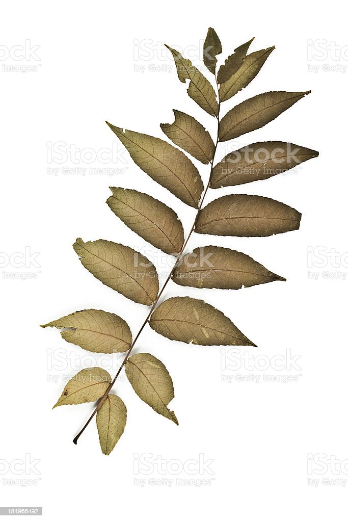 Black Walnut Leaflet back - Juglans nigra stock photo