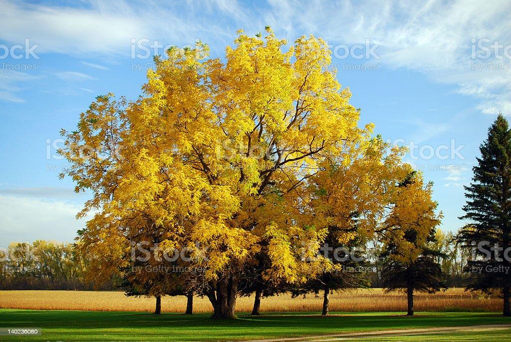Black Walnut Tree in Autumn stock photo