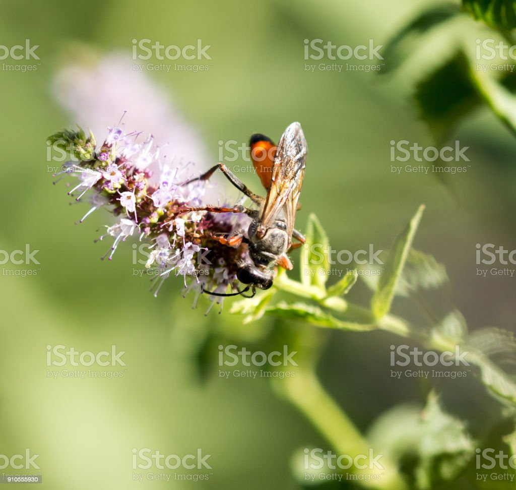 Eine Schwarze Wespe Auf Einer Blume In Der Natur Stockfoto Und Mehr