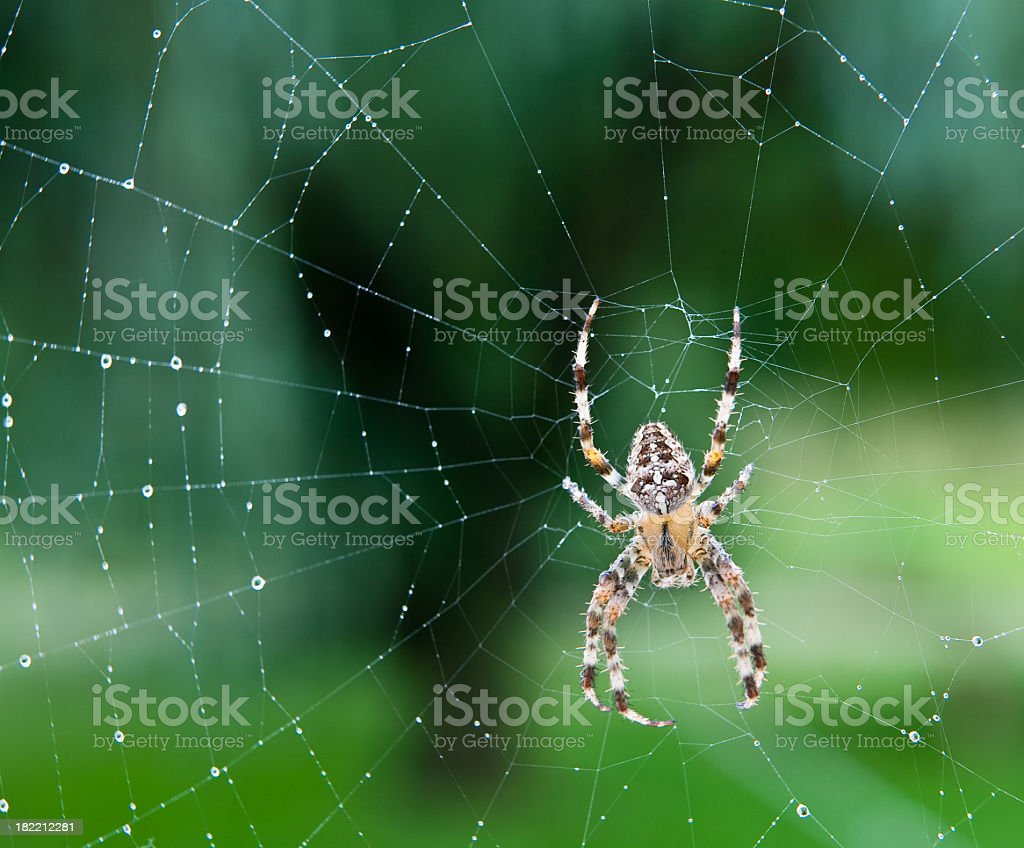 Black, white and yellow spider in the center of a wet web stock photo