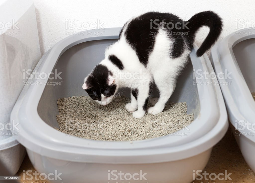Gato preto e branco usa sanitário - foto de acervo