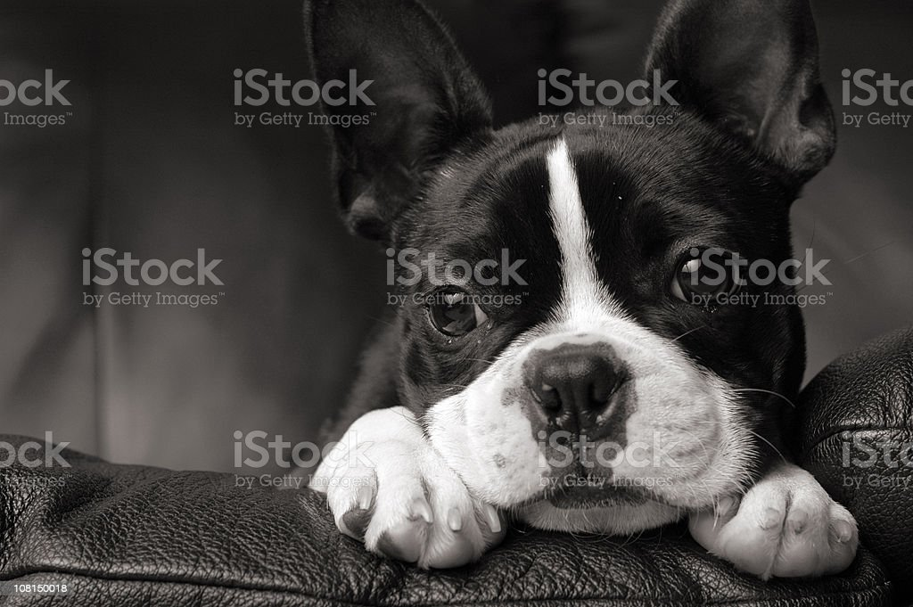 Negro & White Close-up of Boston Terrier Lying on Couch - foto de stock