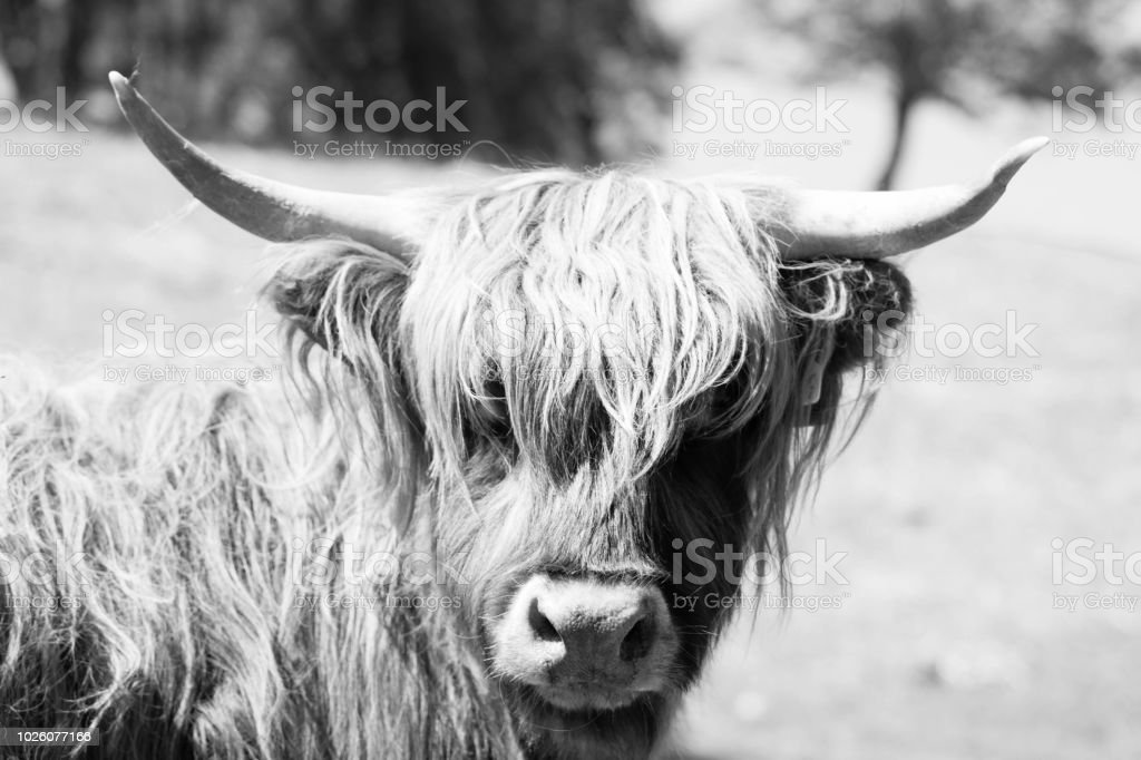Black & White cow stock photo