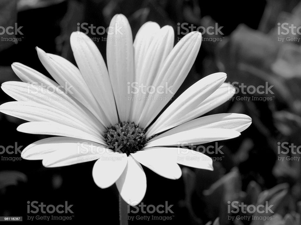 black & white Daisy royalty-free stock photo