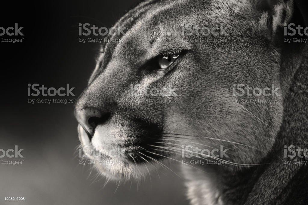 Schwarz Weißes Gesicht Amerikanischen Puma Puma Stockfoto