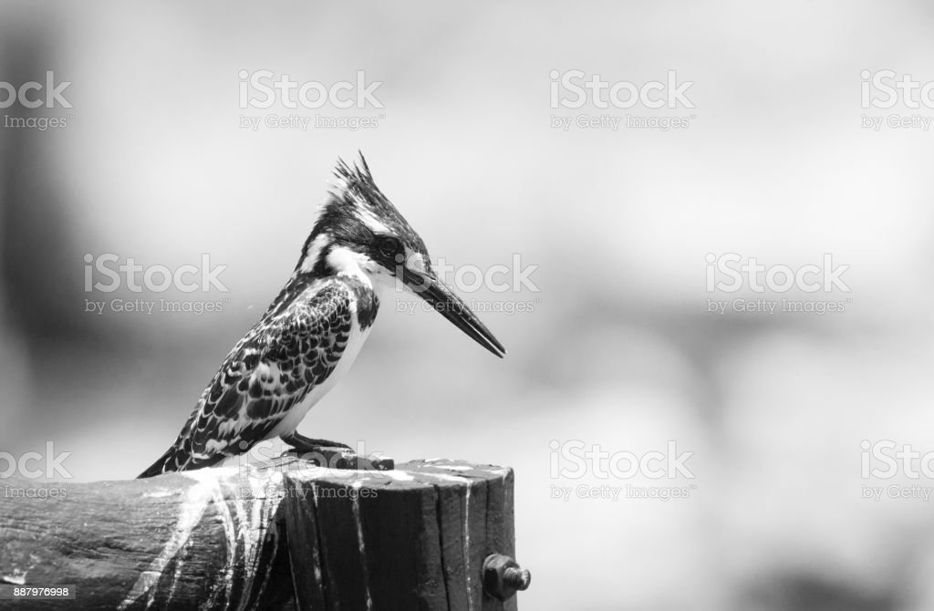 black & white image of a pied kingfisher perching on a wooden post stock photo