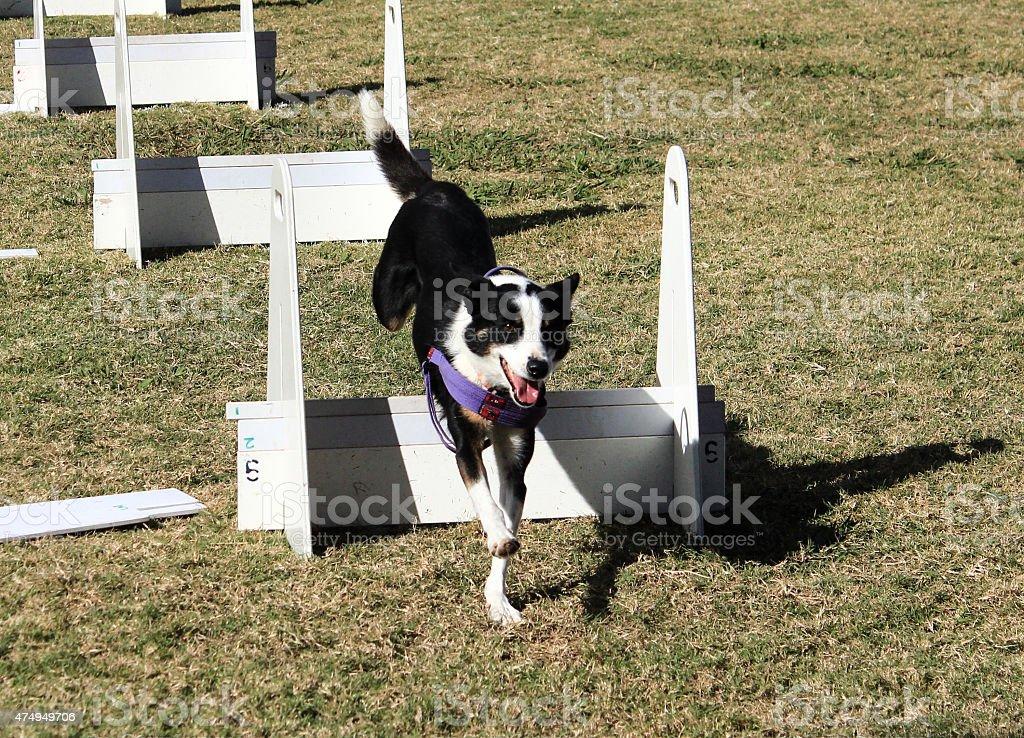 Black white pet dog jumping agility course race stock photo