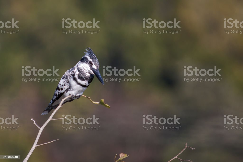 Black White Pied Kingfisher perched on a branch stock photo