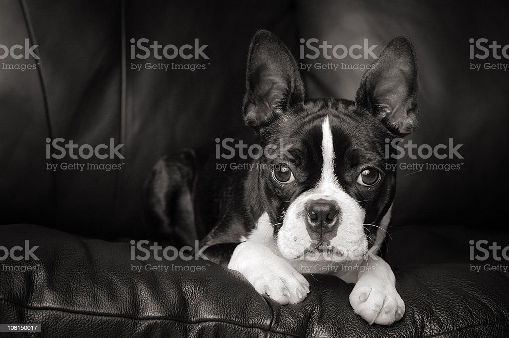 Black & White Portrait of Boston Terrier Dog on Couch stock photo