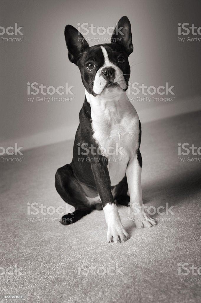 Black & White Portrait of Prize Winning Boston Terrier Dog royalty-free stock photo