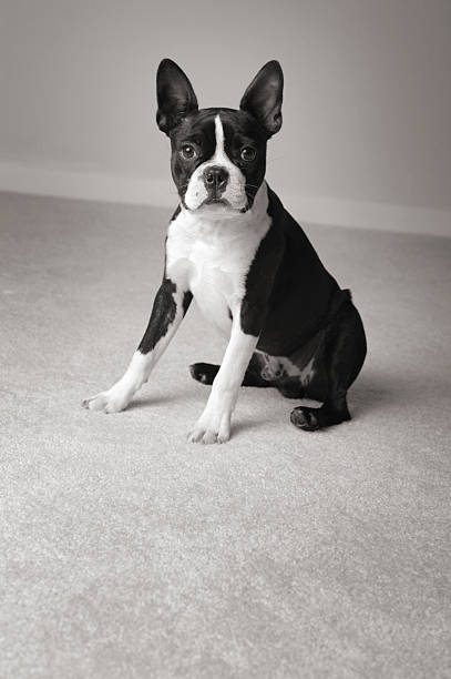 Black & White Portrait of Sitting Boston Terrier Dog stock photo