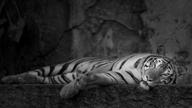 Black & White Tiger. stock photo