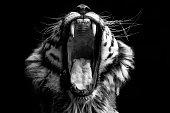 istock Black & White Tiger 954560222