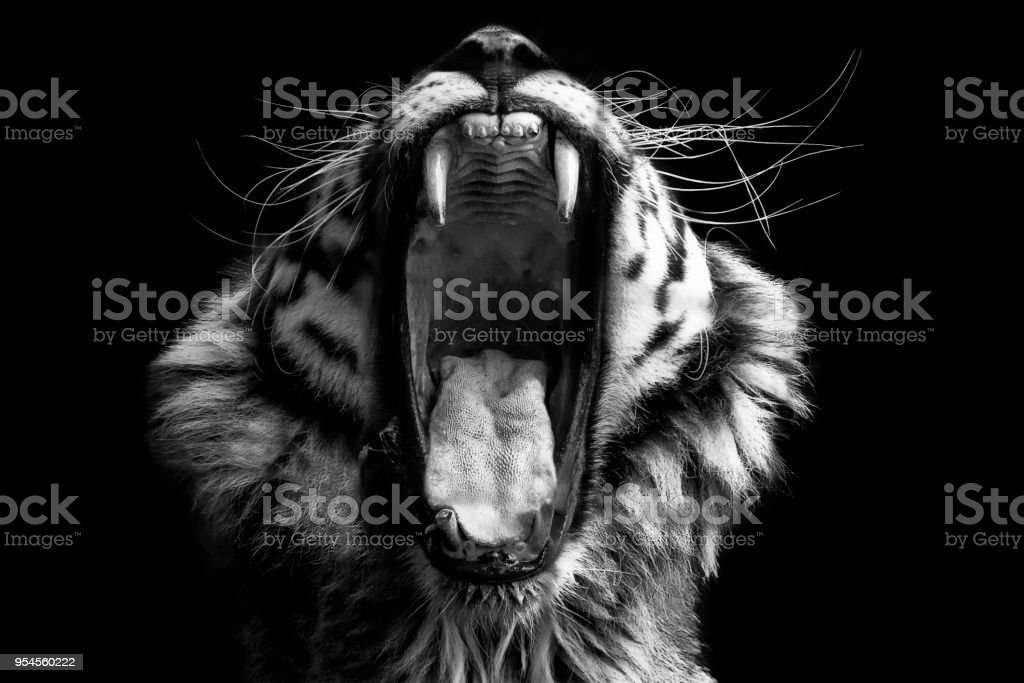 Black & White Tiger stock photo