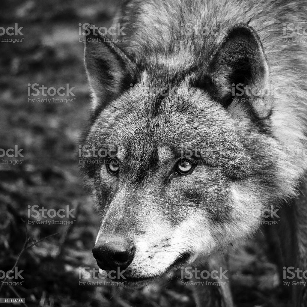 Preto & White Wolf Retrato - foto de acervo