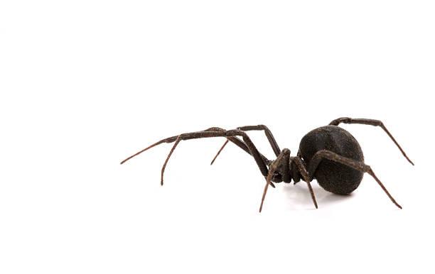 veuve noire - araignée photos et images de collection