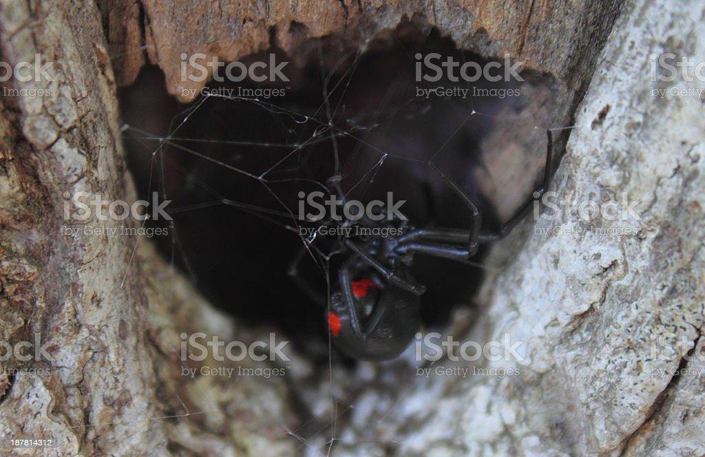 Black Widow Spider in Hiding stock photo