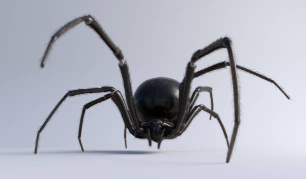 Black Widow Spider isolated on white stock photo