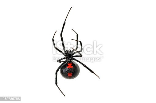 Detail studio image of the venomous and stunning female black widow spider photographed on a white background. She is climbing up a stand of her silk. Sharp focus is on her spinneret, a portion of her red marking, and one leg. The depth of field is very shallow.