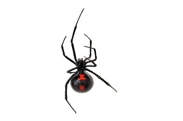 veuve noire sur fond blanc - araignée photos et images de collection