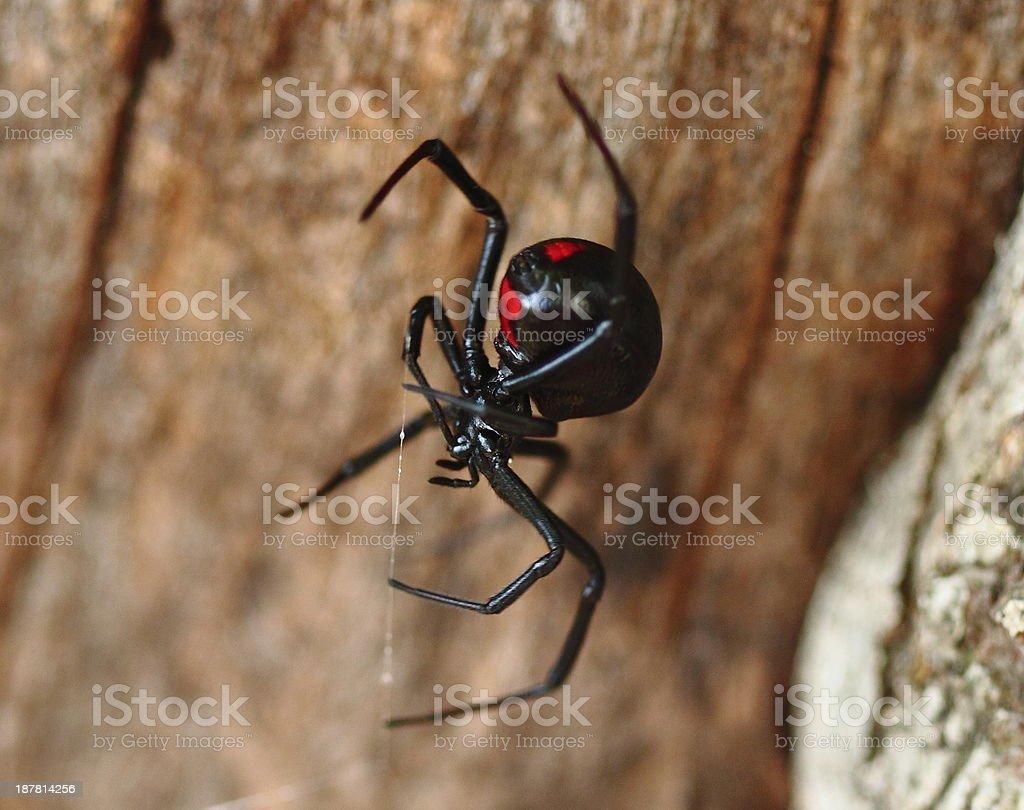 Black Widow Spider on Log stock photo