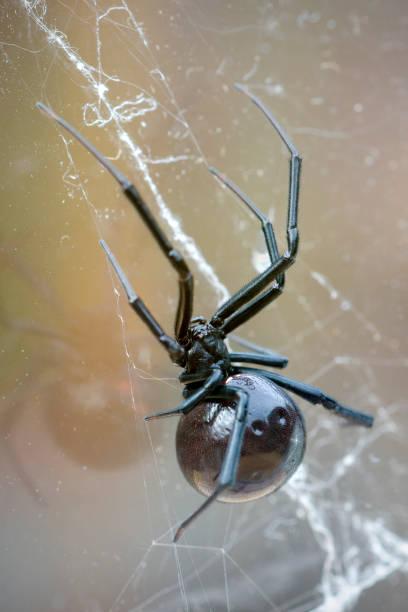 black widow spider on tangle web stock photo