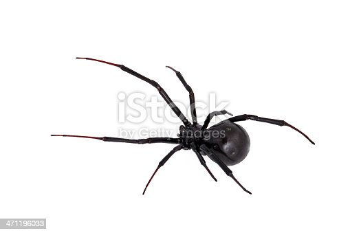 Live black widow poisonous spider against white background