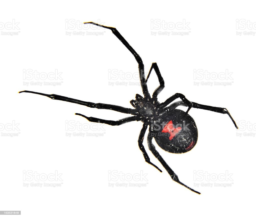 Black Widow Spider Stock Photo & More Pictures of Black Widow Spider ...