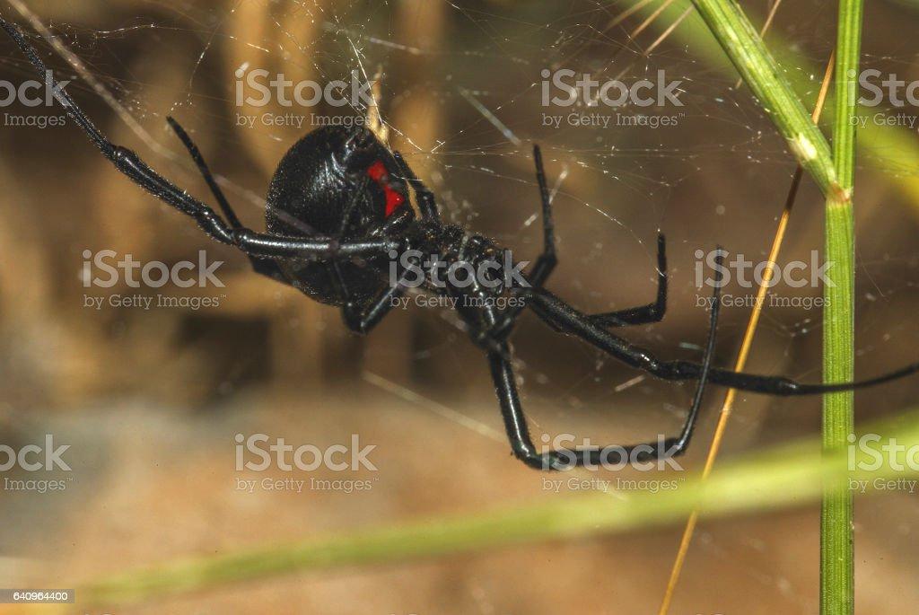Black Widow Spider (3) stock photo