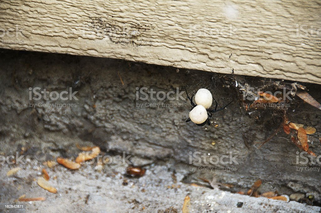 Black Widow Spider Protecting Young stock photo