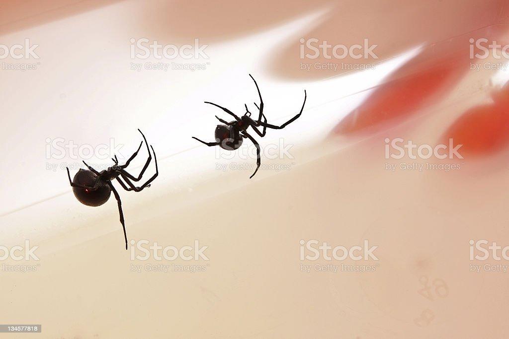 Black Widows stock photo