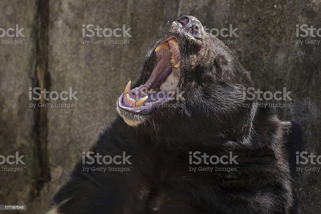 Black wild bear feeding stock photo