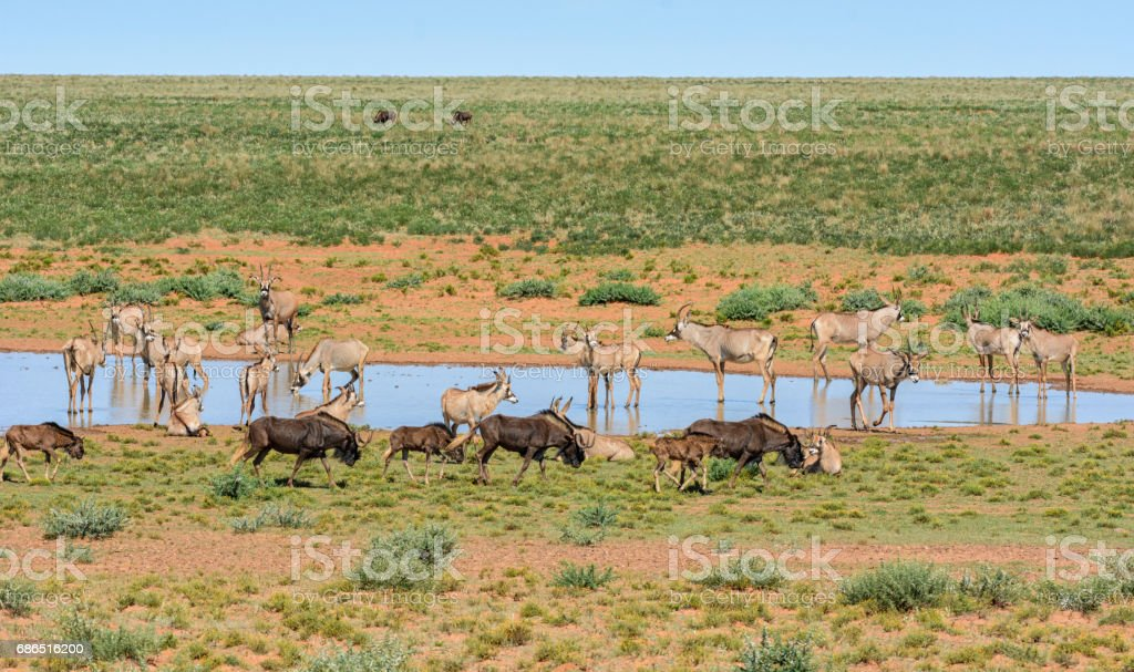 Black Wildebeest and Roan antelope foto stock royalty-free