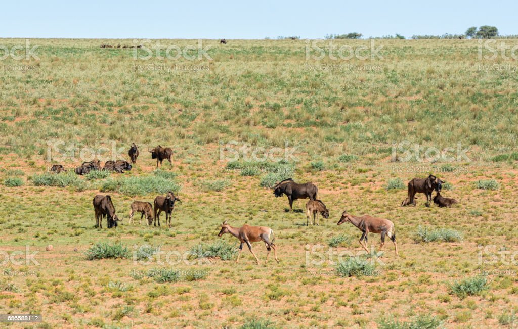 Black Wildebeest and Tsessebe royalty-free stock photo