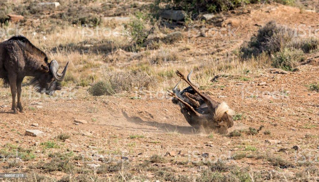 Black Wildebeest Dust Bath royalty-free stock photo